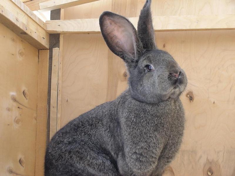 """Кролик породы """"Фландр"""""""
