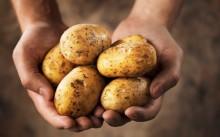 Бизнес на выращивании картофеля — практическое руководство для начинающих