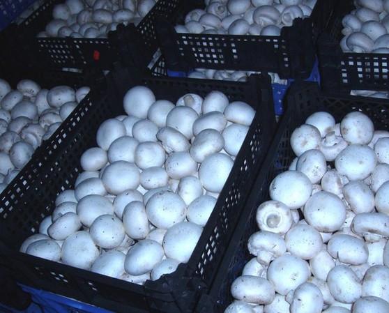 Урожай шампиньонов в ящиках
