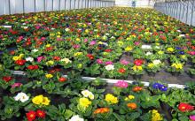 Бизнес на выращивании тепличных цветов