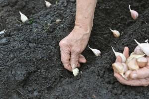 Выращивание чеснока как бизнес - технология, план и отзывы по выращиванию