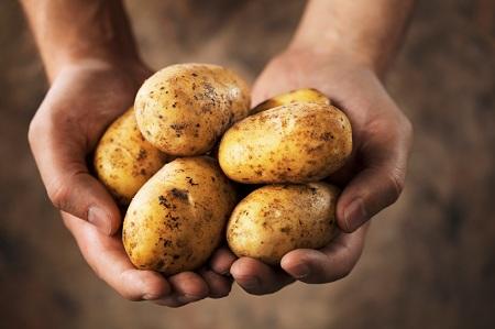 Картофель в руках