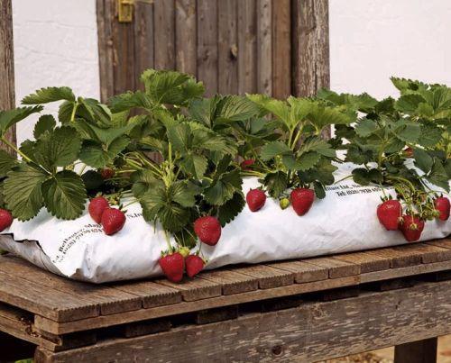 Выращивание клубники в мешке